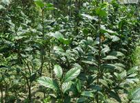 金花茶生产基地